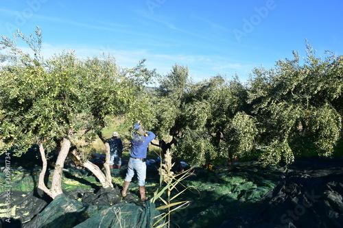 Fototapeta Raccolta delle olive con pettine abbacchiatore elettrico