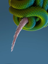 A Snake Squeezes A Mouse
