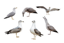 European Herring Gulls, (Larus Argentatus) Isolated On The White Background