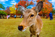 Japan. Nara Park. The Deer Looks At The Camera. The Deer On The Background Of People Walking In The Park. Deer In Nara Park. Natural Attractions Of Japan. Animal Close-up. Fauna Of Japan.