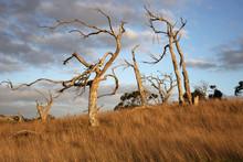 Dead Trees In A Grassy Meadow ...