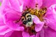 canvas print picture - Norwegian bee