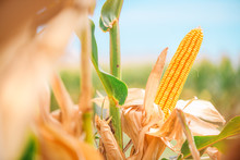Ear Of Corn In Cultivated Corn...