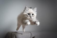 Cute Playful Blue Silver Tabby...