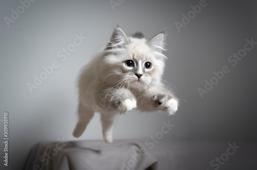 Photographie cute playful blue silver tabby point white ragdoll kitten jumping playing lookin