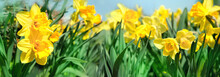 Beautiful Gentle Spring Background With Yellow Daffodils. Daffodil Floral Background. Easter Spring Flowers, Elegant Springtime Blossom Scene. Banner. Shallow Depth. Close Up