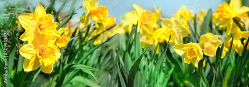 Fényképezés beautiful gentle spring background with yellow daffodils