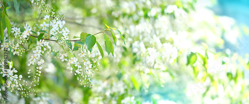 bird cherry flower blossoms Wallpaper Mural