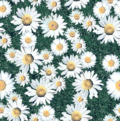 Daisy Blossom Seamless Pattern with Grass. Meadow. Natural background. - Illustration