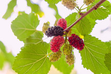 Mulberry Tree Branch With Ripening Mulberries At Summer Sunny Day. Close-up. Limited Depth Of Field.