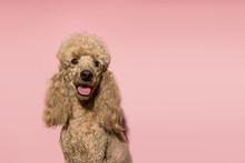 Portrait Of Brown Poodle Dog S...