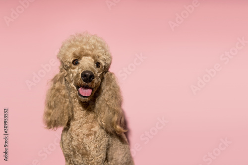 Tableau sur Toile Portrait of brown poodle dog smiling and looking at the camera on a pink background