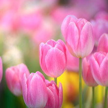 Pink Tulip Flowers Against Sunlight As Floral Background