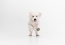 Catching. English Cream Golden Retriever Playing. Cute Playful Doggy Or Purebred Pet Looks Cute Isolated On White Background. Concept Of Motion, Action, Movement, Dogs And Pets Love. Copyspace.