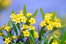 Yellow Star Shaped Flowers Of ...
