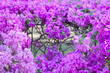 canvas print picture - Purple Bougainvillea flower bloom in the garden for background.