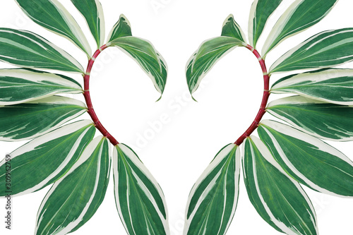 Fototapeta Tropical leaves pattern abstract love nature backdrop, heart shaped layout of green variegated spiral crepe ginger with red stems (Costus speciosus) the tropic plant on white background. obraz