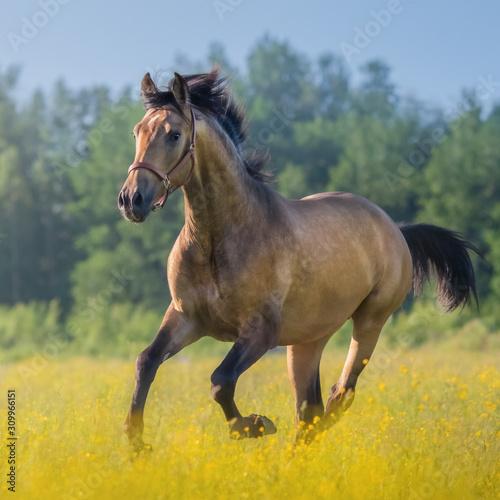 Fototapeta Andalusian horse in field of flowers on farm.