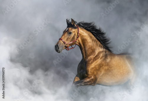 Fototapeta Andalusian horse in halter in light smoke with space for text. obraz