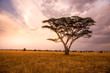 canvas print picture Panoramic image of a lonely acacia tree in Savannah in Serengeti National Park, Tanzania - Safari in Africa