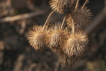 Dry Burdock Seeds Close Up
