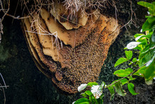 Wild Beehive With Bees Hanging On The Cave Roof
