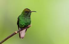 Hummingbird On Branch In Costa...