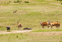 Eland Antelope On The Savanna ...