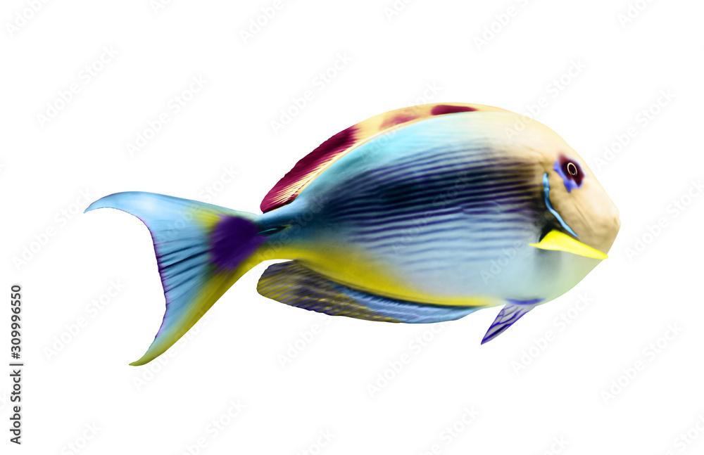 Beautiful bright tropical surgeonfish on white background