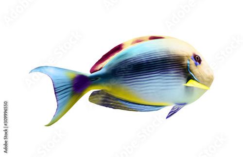 obraz dibond Beautiful bright tropical surgeonfish on white background