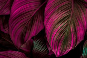 leaves of Spathiphyllum cannifolium, abstract colorful texture, nature background, tropical lea