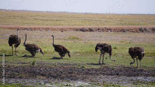 Ostriches in Amboseli National Park in Kenya Canvas Print