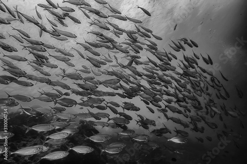 Fotografie, Tablou  black white fish group / underwater nature poster design