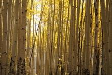 Pine And Autumn Aspen , Aspen, Trees, Aspen Trees, Landscape, Autumn Trees, Fallbackground