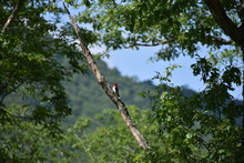 Redheaded Woodpecker Southwest...