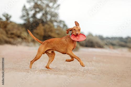 Fototapeta happy vizsla dog running on a beach with a flying disc obraz