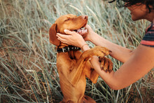 Happy Vizsla Dog Portrait With...