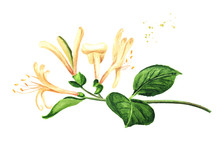 Branch Of Honeysuckle With Flowers And Leaves, Watercolor Hand Drawn Illustration Isolated On White Background