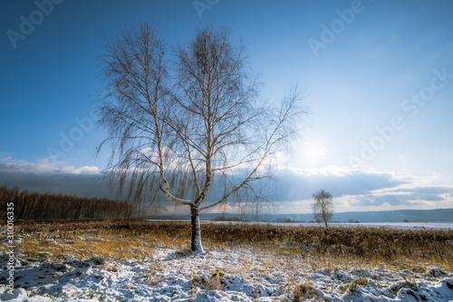 dwie brzozy na polu w zimie - 310016335