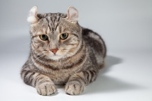 American Curl Cat Silver Tabby Color Which Ears, Roll Cute Ginger Kitten In The Fluffy Pet Poses Comfortably Is Happy. Cat Breed Originated From American Curl Cat And American Short Hair Cat Breeder.