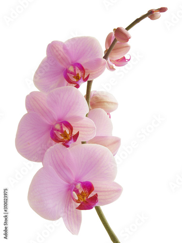 Fotografie, Obraz pretty pink orchid Phalaenopsis close up isolated