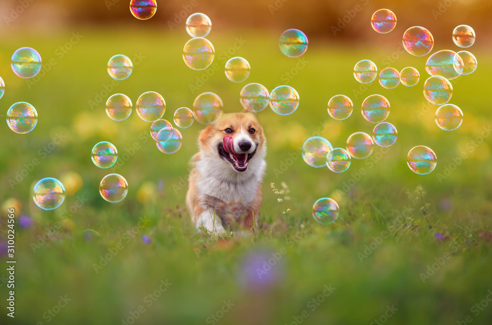 Fototapeta cute ginger Corgi dog puppy is running merrily through the green bright meadow with bright soapy shiny bubbles on a Sunny summer day