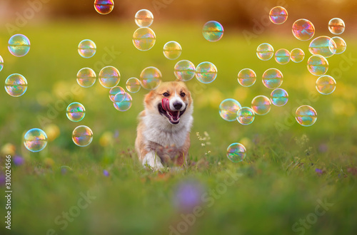 Obraz cute ginger Corgi dog puppy is running merrily through the green bright meadow with bright soapy shiny bubbles on a Sunny summer day - fototapety do salonu