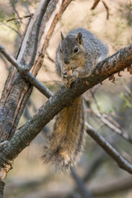 Eastern Fox Squirrel Perched O...