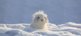 Fototapeta Zwierzęta - white funny fluffy rabbit in the snow