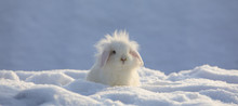 White Funny Fluffy Rabbit In T...