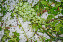 Damaged Bunch Of Grapes Among Hailstones On Ground. Hailstorm Hit Vineyards And Gardens. Hail At Famous Wine Producing Region Of Alazani Valley, Kakheti Province, Georgia, Europe.