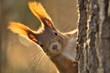 Portrait Eurasisches Eichhörnchen schaut neugierig hinter einem Baum hervor, sciurus vulgaris