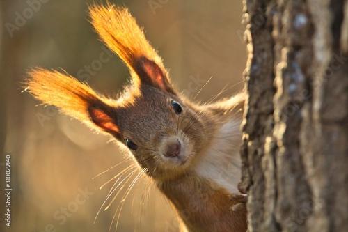 Fotomural Portrait Eurasisches Eichhörnchen schaut neugierig hinter einem Baum hervor, sci