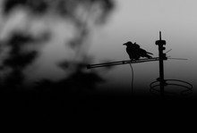 Greyscale Shot Of A Crow Perch...